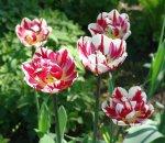 Пестрые тюльпаны- сорт или болезнь?