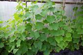 Меры по спасению тепличных овощей в жару