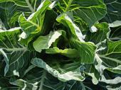 Время бороться с капустной тлей