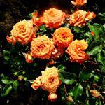 Розовый рай. Продажа саженцев роз
