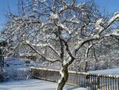 Зимняя прививка плодовых растений