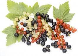Как правильно посадить кусты черной, красной и белой смородины