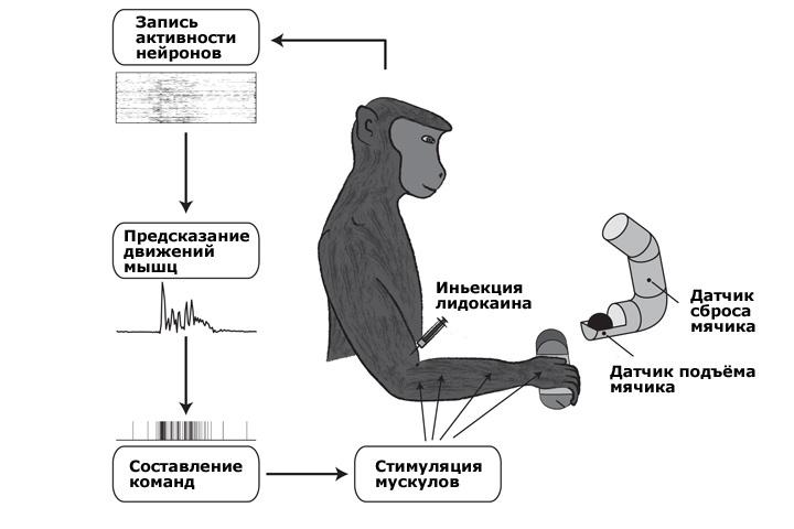 Создан электронный интерфейс между мозгом и мышцами