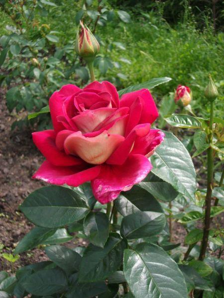 Посадка роз в климатических условиях Средней полосы