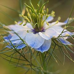 Черный тмин фото цветка