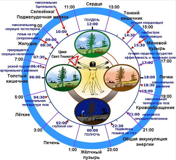 Биологические часы и оптимизация здоровья