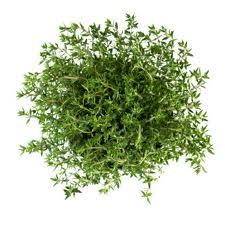 Чабрец (Thymus vulgaris)