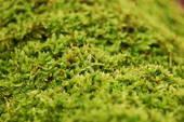 Зеленый мох мне здоровым стать помог!
