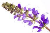Шалфей мускатный (Salvia sclarea). Эфирное масло. Свойства и применение.