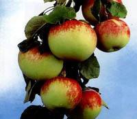 Яблоки - панацея для сердца